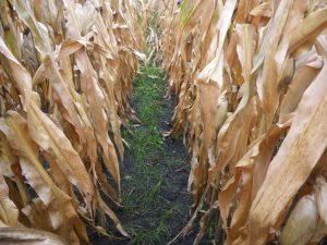 Cover crops planted into standing corn (V5-V7 stage) in June benefit from increased sunlight by mid-September